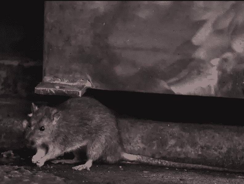 أخبار مطمئنة عن فيروس هانتا.. ليست كل الفئران حاملة له