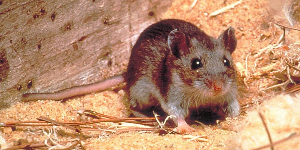 فيروس جديد في الصين بسبب الفئران وهكذا نتخلص منها