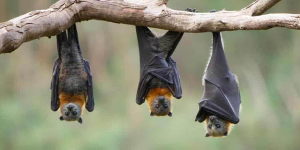 اكتشاف نوع جديد من فيروس كورونا لدى الخفافيش!