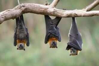اكتشاف نوع جديد من فيروس كورونا لدى الخفافيش! - المواطن
