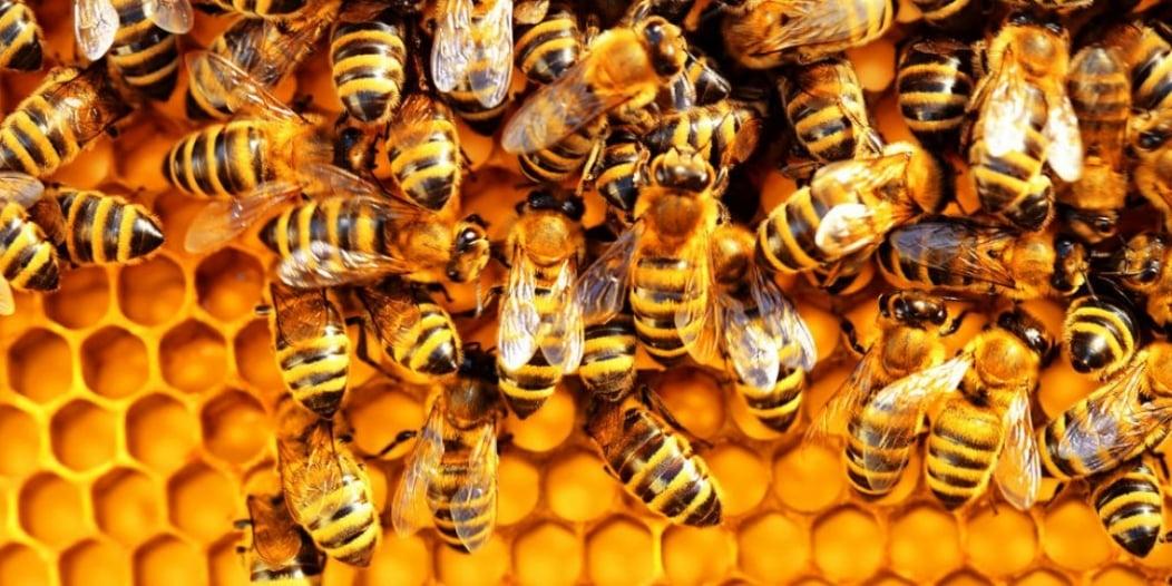 تدريب النحل في هولندا للكشف عن كورونا