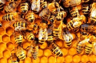 تدريب النحل في هولندا للكشف عن كورونا - المواطن