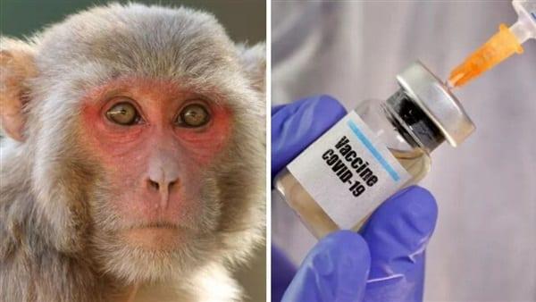 لقاح أكسفورد المزعوم فشل في حماية القرود من كورونا