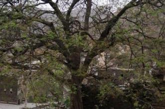 عمرها يزيد على 500 عام.. تركي بن طلال يُوجّه بحماية شجرة الحُمَر في رجال ألمع - المواطن
