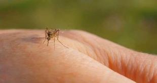 بحث جديد يكشف دور البعوض في عدوى كورونا