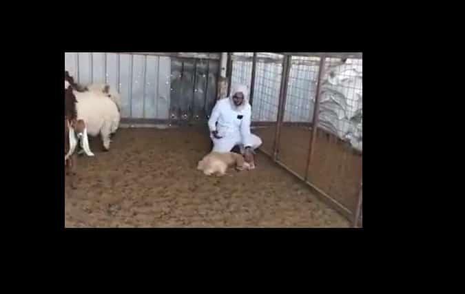 فيديو.. تيس مراوغ يتفادى الذبح بتمثيلية مضحكة