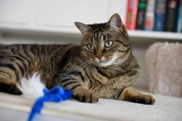 إصابة قطة بفيروس كورونا