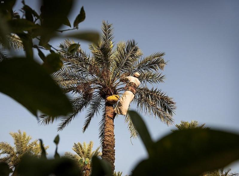 السعودية تنتج 17 % من التمور في العالم - المواطن