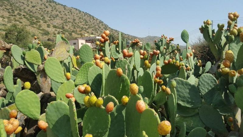 نصائح لتجنب أشواك البرشومي خيرات مزارع الطائف