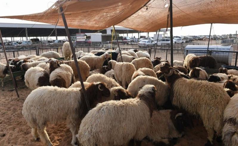 إقبال على سوق المواشي في تبوك والخروف النجدي يبدأ من 1300 ريال