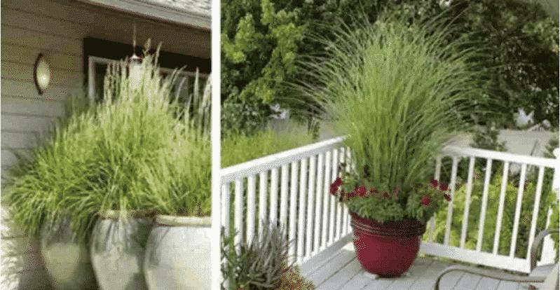 7 فوائد لزراعة عشبة الليمون في منزلك