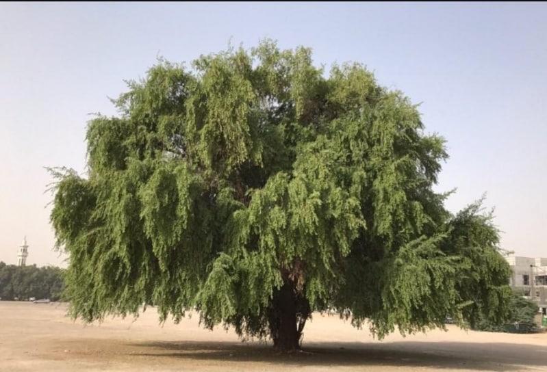فيديو.. أشجار السدر تنشر البهجة والجمال في روضة الخشم بالرياض