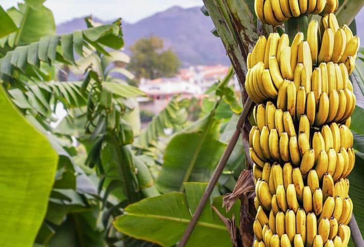 """استشارية تغذية لـ""""المواطن"""": لهذا السبب يأكل الهنود على أوراق الموز"""