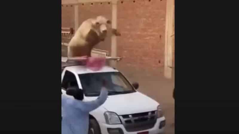 فيديو.. عجل خارق يحطم سيارة وكاد يقتل كل من حوله بمصر - المواطن