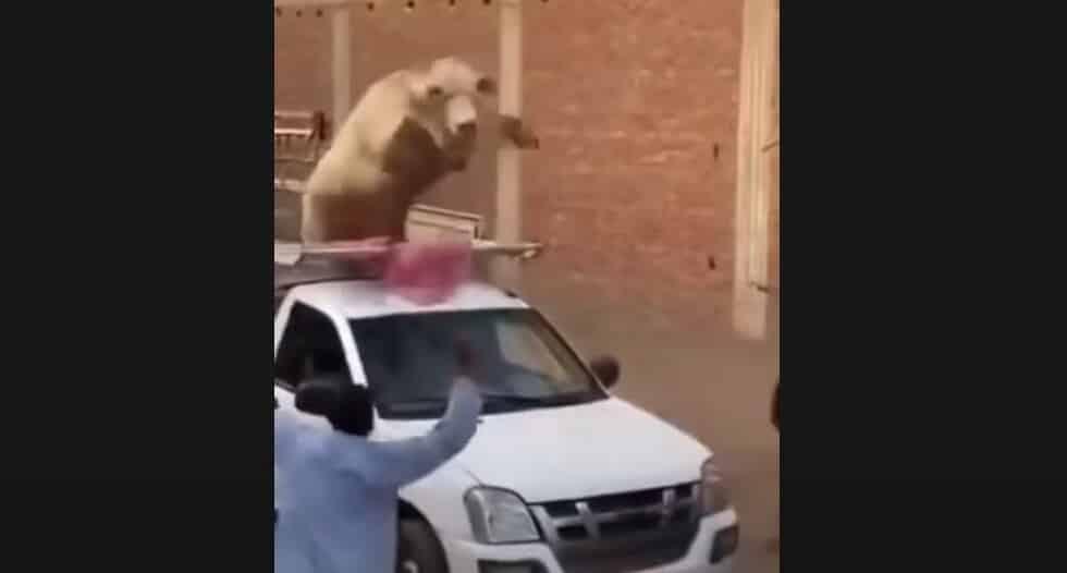 فيديو.. عجل خارق يحطم سيارة وكاد يقتل كل من حوله بمصر