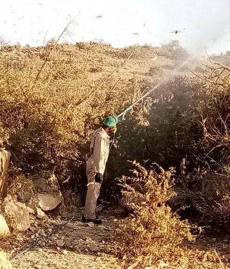 أكثر من 140 فرقة ميدانية تكافح أسراب الجراد في عسير