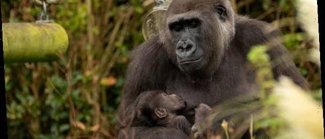 سويسرا تدرس منح القرود حقوقًا أساسية كالبشر !