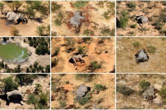 بكتيريا زرقاء وراء نفوق 170 فيلًا بشكل غامض في إفريقيا - المواطن