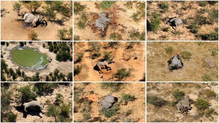 بكتيريا زرقاء وراء نفوق 170 فيلًا بشكل غامض في إفريقيا