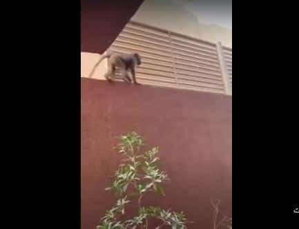 فيديو.. قرد هارب يتجول في شوارع الرياض