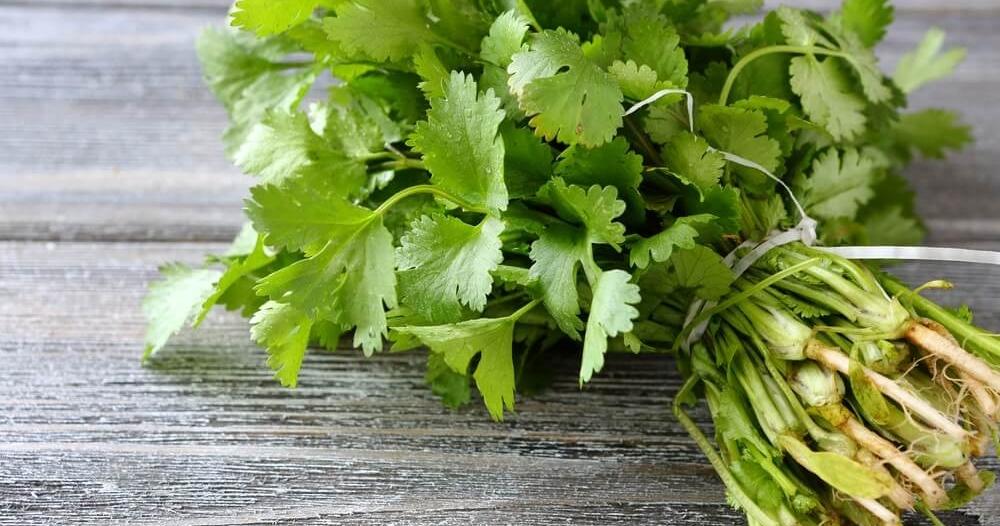 7 فوائد صحية لا تصدق لعشبة الكزبرة
