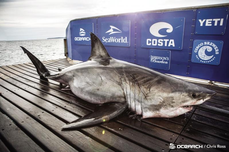شاهد.. سمكة قرش عملاقة وزنها 3541 رطلًا وطولها 17 قدمًا