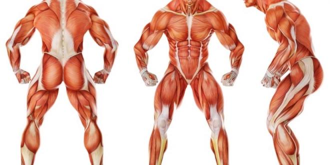 صورة كم عدد العضلات في جسم الانسان ؟