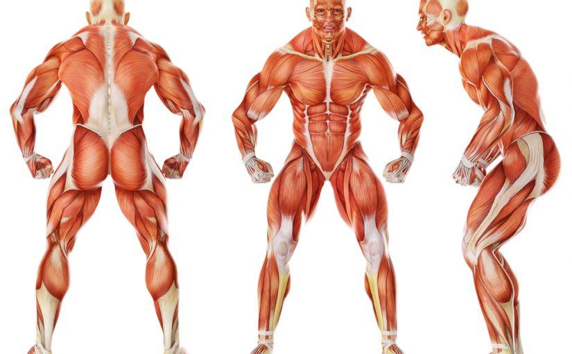 كم عدد العضلات في جسم الانسان