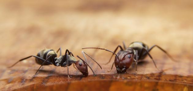 كيف اقضي على النمل