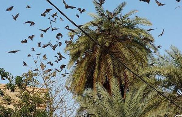 رغم كورونا.. قرية هندية تحمي الخفافيش منذ 150 عامًا