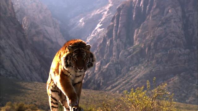 فيديو مرعب.. نمر غاضب ينقض على رجل ويطرحه أرضًا