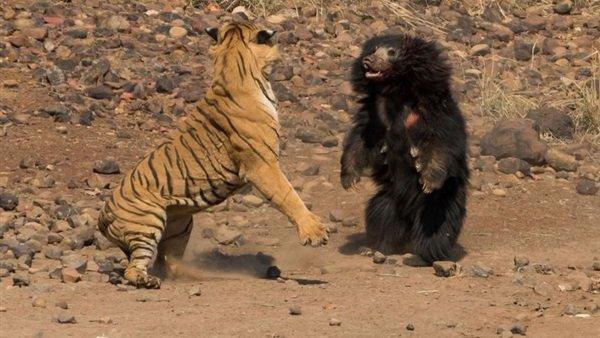 فيديو.. معركة عنيفة بين نمر ودب