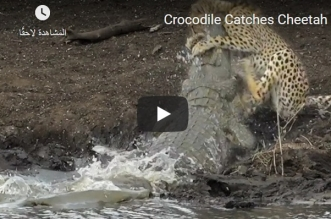 فيديو.. تمساح عملاق ينقض على فهد ويلتهمه في دقائق - المواطن