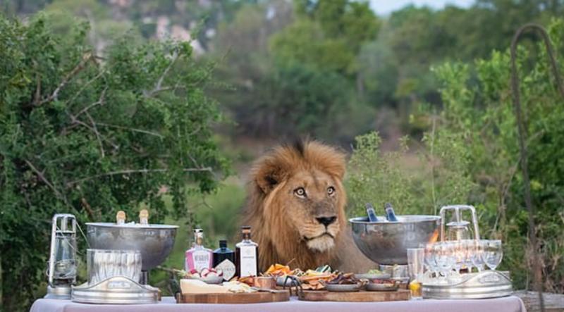 أسد يفاجئ أسرة بريطانية وينضم إليهم على الطعام! (2)