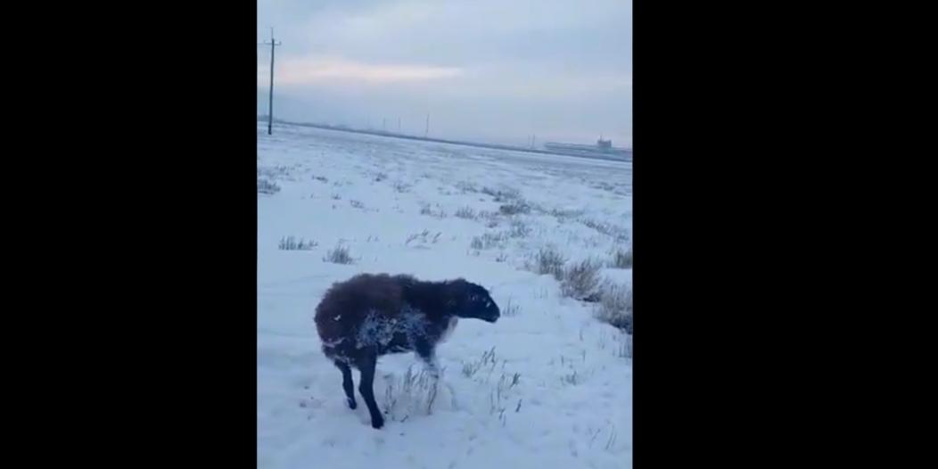 مقاطع نفوق حيوانات وهي واقفة بسبب البرد مكذوبة