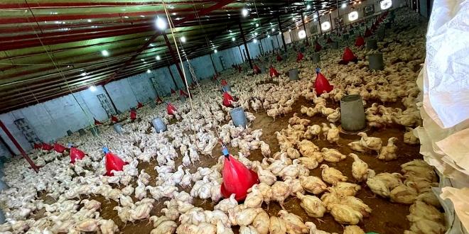 ضبط 7 مزارع دواجن بدون ترخيص بجدة