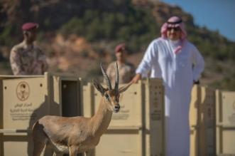 تركي بن طلال يطلق عددًا من الوعول والظباء العربية المهددة بالانقراض - المواطن