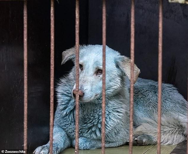 فيديو .. الكلاب تتحول للون الوردي والأزرق في روسيا فما السبب؟