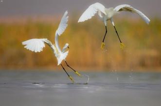 بحيرة الأصفرفي الأحساء محمية طبيعية تأوي الطيور المهاجرة - المواطن