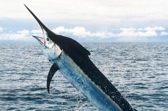 شاب يصطاد سمكة قيمتها 2.6 مليون دولار !