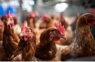 نفوق آلاف الدجاج في الجزائر بسبب مرض فيروسي خطير (1)