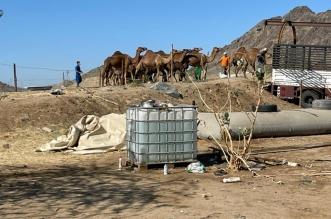 ضبط حظائر مخالفة لبيع حليب الإبل في بريمان - المواطن
