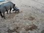 ولادة وحيد قرن من الفصائل المهددة بالانقراض في استراليا