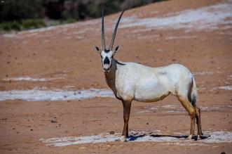 الهيئة الملكية لـ العُلا تُطلق المجموعة الثالثة من الحيوانات الفطرية - المواطن