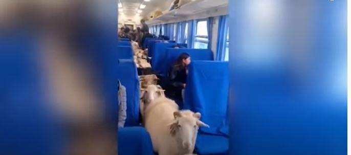 رد فعل ركاب قطار داهمتهم الأغنام في الصين