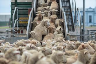 السعودية تسمح باستيراد الماشية من أستراليا