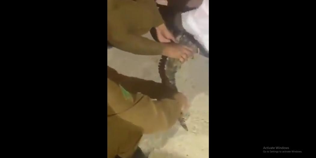 السيطرة على تمساح تجول في بريدة وأرعب الأهالي