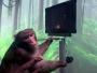 قرد يتحكم بالألعاب الإلكترونية بفضل شرائح Neuralink !