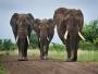 قطيع أفيال يقتل صيادًا بطريقة وحشية بجنوب أفريقيا