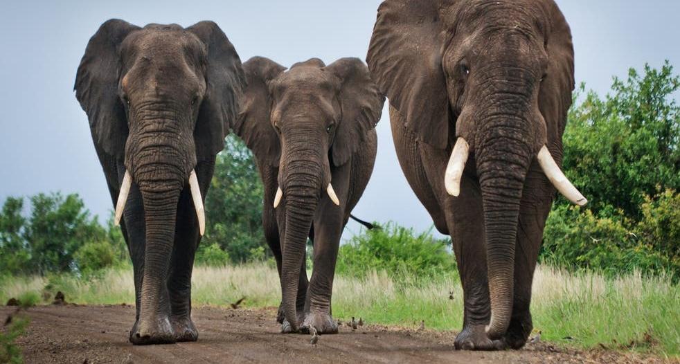 قطيع أفيال يقتل صيادًا بطريقة وحشية بجنوب إفريقيا